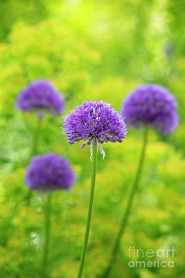 Photograph - Allium Purple Sensation by Tim Gainey