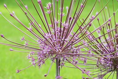 Photograph -  Allium Schubertii Flower by Tim Gainey