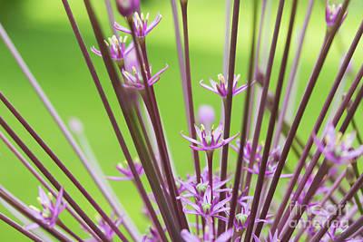 Photograph -  Allium Schubertii Flowering by Tim Gainey