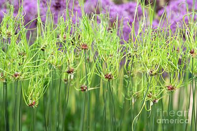 Photograph - Allium Vineale Dready  by Tim Gainey