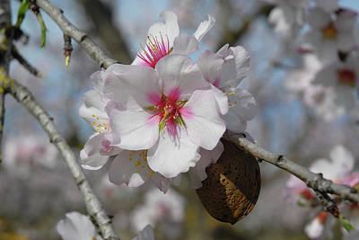 Almond Blossom And Almond Nut. Spain Art Print by Josie Elias
