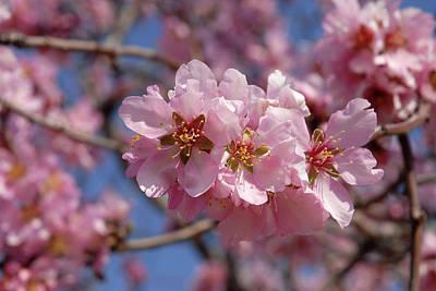 Almond Blossom. Spain Art Print by Josie Elias