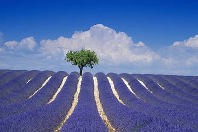 Photograph - Almond Tree In Lavender Field In Front by Heinz Wohner / Look-foto