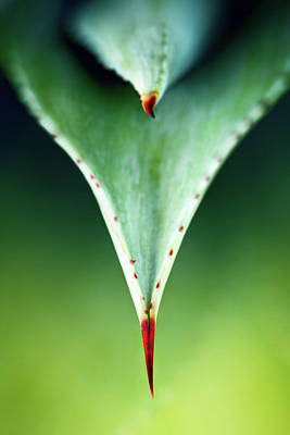 Royalty-Free and Rights-Managed Images - Aloe thorn and leaf macro by Johan Swanepoel
