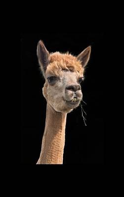 Photograph - Alpaca Head by Jean Noren