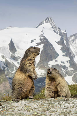 Photograph - Alpine Marmots by Arterra Picture Library