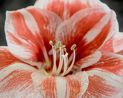 Photograph - Amaryllis 9349 By Tl Wilson Photography by Teresa Wilson