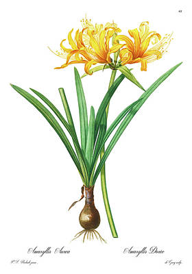 Lilies Drawings - Amaryllis aurea, Golden Spider Lily, Golden Hurricane Lily by Pierre Joseph Redoute, Plate 61 by Pierre Joseph Redoute