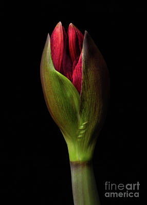 Photograph - Amaryllis 'merlot by Ann Jacobson