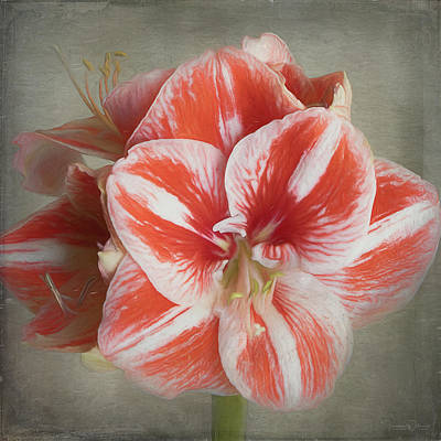 Photograph - Amaryllis Square Painterly  by Teresa Wilson