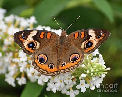 Whats Your Sign - Amazing Beauty - Common Buckeye by Cindy Treger