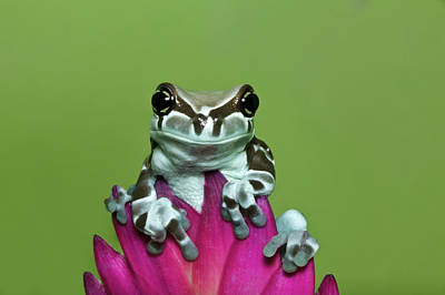 Photograph - Amazon Milk Frog Trachycephalus by Danita Delimont