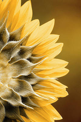Mixed Media - Amber Sunflower by Christina Rollo