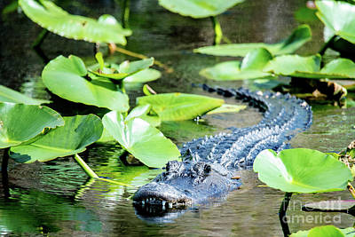 Photograph - American Alligator by Ed Taylor