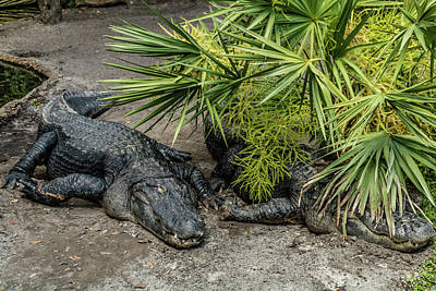 Photograph - American Alligators At Rest And Swi by David Butler