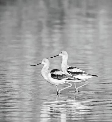 Photograph - American Avocets 7944-110318-2cr-bw by Tam Ryan
