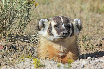 Photograph - American Badger Burrow by Jennie Marie Schell