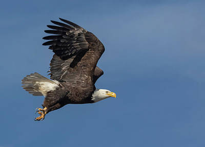Photograph - American Bald Eagle In Flight by Rick Mosher