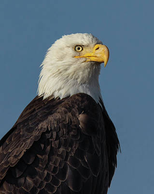 Photograph - American Bald Eagle Portrait 2 by Rick Mosher
