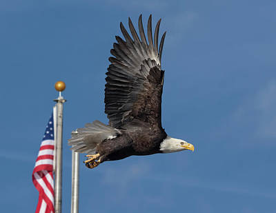 Photograph - American Bald Eagle With Flag by Rick Mosher