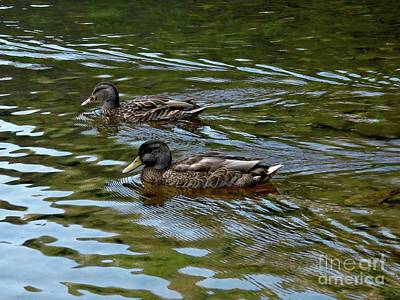 Photograph - American Black Duck by Marcia Lee Jones