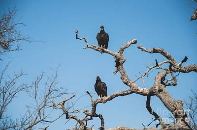 Photograph - American Black Vulture by Krysten Brown
