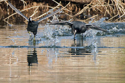 Photograph - American Coot Chase 0507-010719 by Tam Ryan