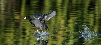 Photograph - American Coot Chase 0523-010719 by Tam Ryan