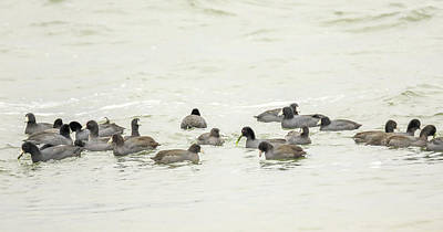 Photograph - American Coot by Dan Sproul