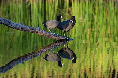 Coot Wall Art - Photograph - American Coot In Pond by Larry Ditto