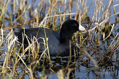 Photograph - American Coot In The Marsh by Sue Harper