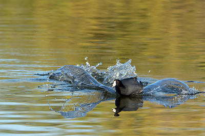 Photograph - American Coot Splash Landing 0483-010719-1 by Tam Ryan
