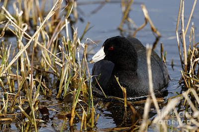 Photograph - American Coot by Sue Harper