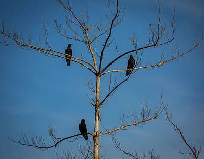 Photograph - American Crows In Bare Tree by Lora J Wilson