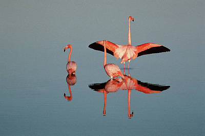 Photograph - American Flamingo Phoenicopterus Ruber by Art Wolfe