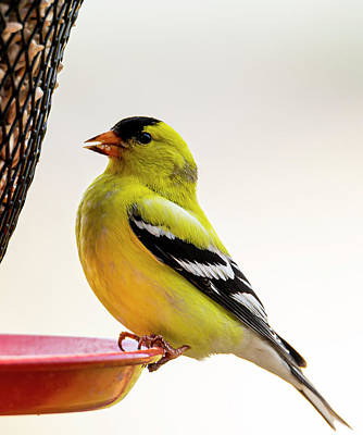 Photograph - American Gold Finch At The Feeder by Philip Rispin