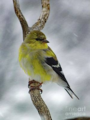 Tina Turner - American Goldfinch In The Spring by Cindy Treger