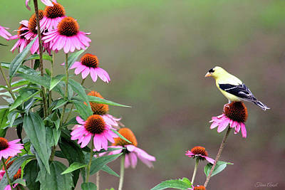 Photograph - American Goldfinch On The Coneflowers by Trina Ansel