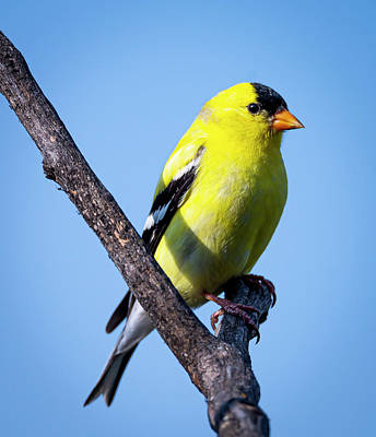 Animals Photos - American Goldfinch by Philip Rispin