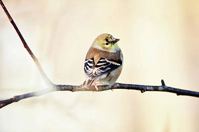 Art Print featuring the photograph American Goldfinch by Sue Collura