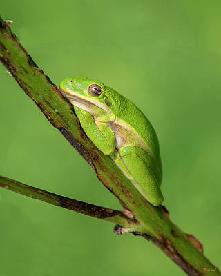 Photograph - American Green Tree Frog Dar033 by Gerry Gantt