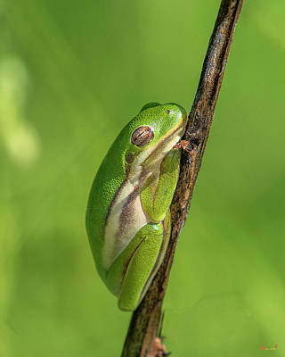 Photograph - American Green Tree Frog Dar034 by Gerry Gantt