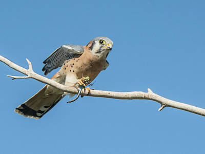 Photograph - American Kestrel And Dragonfly 102418-5376-1cr by Tam Ryan
