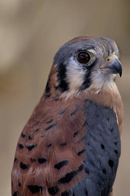 Mississippi Kite Photograph - American Kestrel Falcon by Michael Gordon