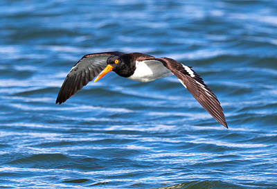Photograph - American Oyster Catcher in Flight by Jay Whipple