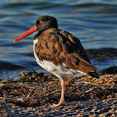 Photograph - American Oystercatcher  by HH Photography of Florida