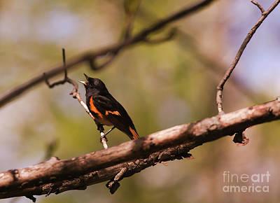 Photograph - American Redstart by Sheila Skogen