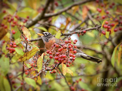 Photograph - American Robin In Autumn Berries by Kerri Farley