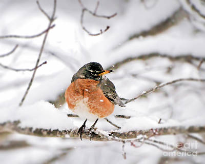 American Robin In The Snow Art Print
