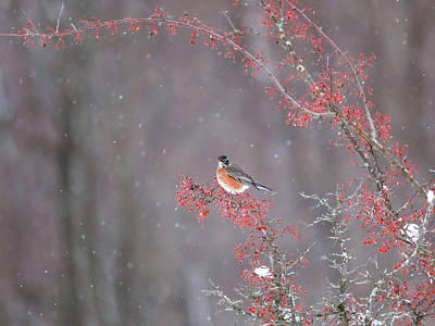 Photograph - American Robin In Winter Snow by Dan Sproul